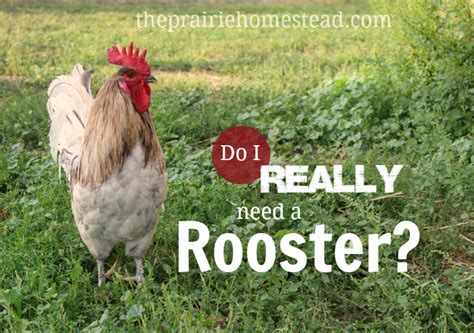 do i have to have a rooster the prairie homestead