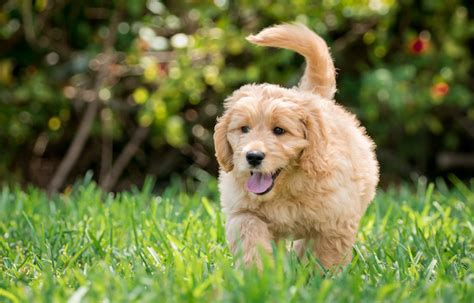 yorkie doodle puppies 10 reasons to own a goldendoodle everything doodle