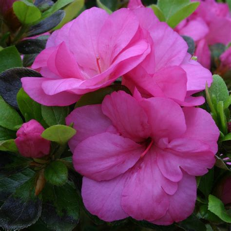 azalea evergreen maria elena dobbies