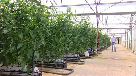 Indoor Vine Plant Watersmart Farms Hok Lam Hydroponic Truss Tomatoes