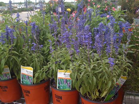 Garden On Sale Are Purple Salvia Plants The Ones Used When