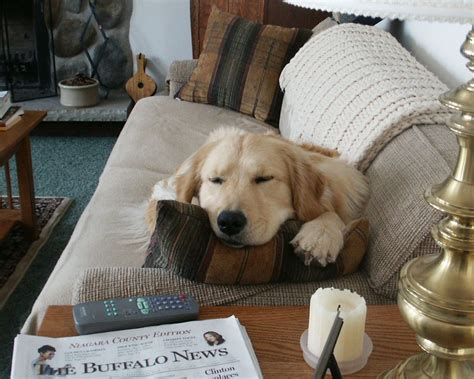 dog off couch easy ways to keep pets off your furniture