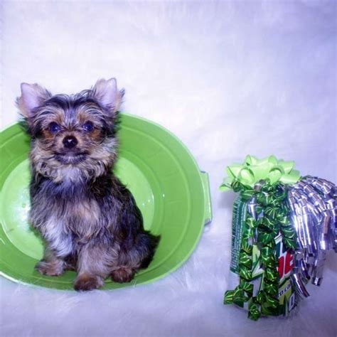 yorkie puppies for sale in toronto teacup yorkie puppies for adoption for sale in toronto ontario breeds picture
