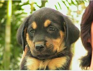 black golden retriever puppy black and golden retriever labrador cross history