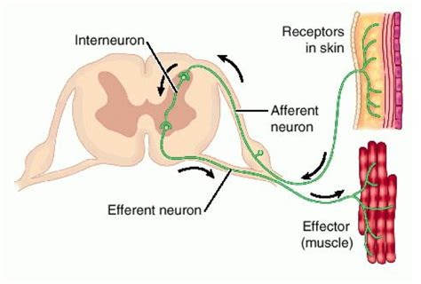 motor neuron definition what are the functions of sensory neurons interneurons
