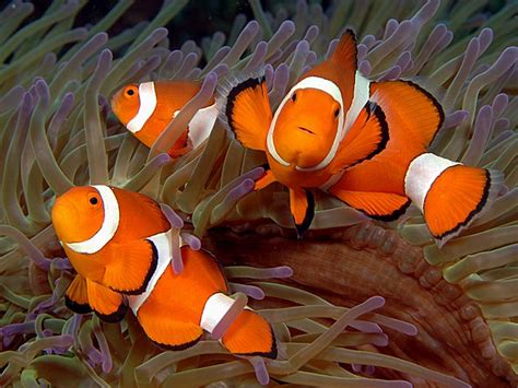 clownfish family copyright ken knezick island dreams