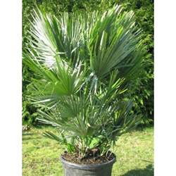Indoor Container Garden - chamaerops humilis vulcano a sicilian palm