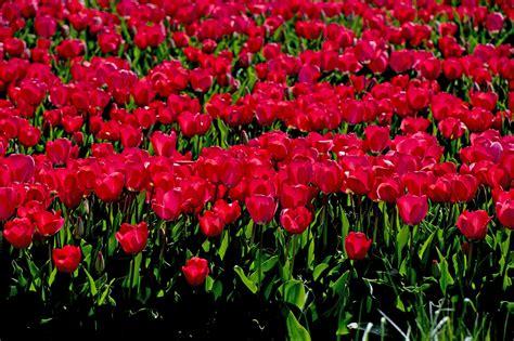fiori olanda gli affari della ndrangheta con i fiori olandesi e la