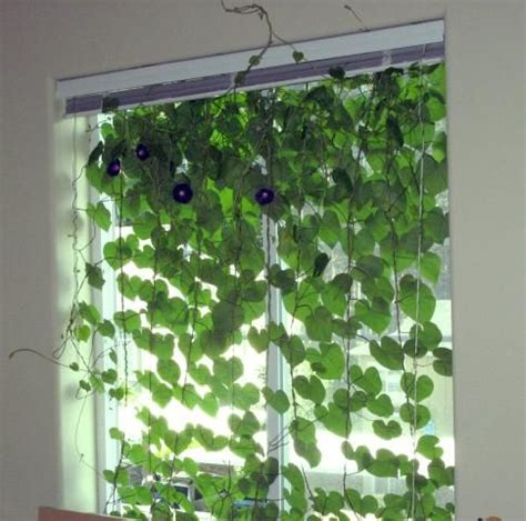 plant curtains 1000 ideas about morning glories on pinterest morning