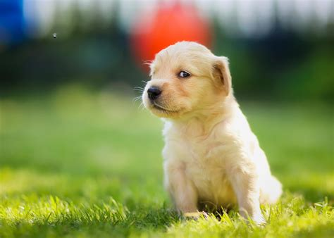wallpaper for desktop puppies 50 cute dogs wallpapers dog puppy desktop wallpapers