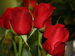 Wedding red rose flower wallpapers love roses pictures urdu meaning