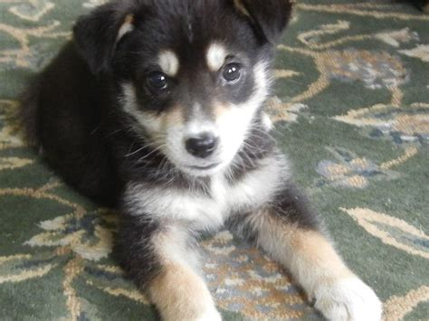 lab husky mix puppies for sale 17 best ideas about husky lab mixes 2017 on labrador husky labrador mix