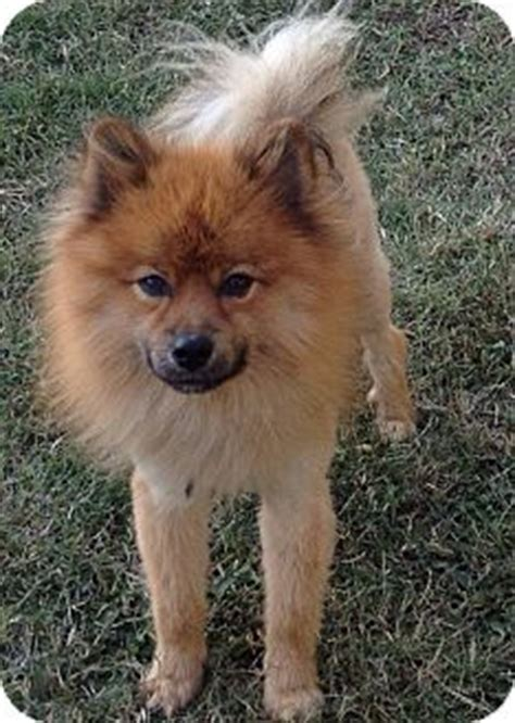 pomeranian chow mix puppies simba adopted puppy kansas city mo chow chow pomeranian mix