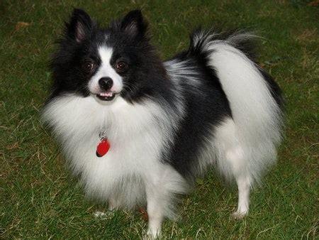 how to take care pomeranian puppy black pomeranian picture dogmal