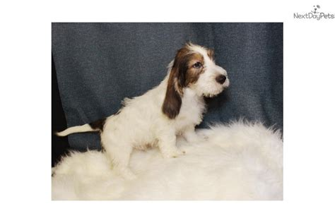 petit basset griffon vendeen puppies for sale meet leny a petit basset griffon vendeen puppy for sale for 895 leny