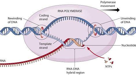 cadena molde de adn transcripcion biologia2bachc transcripci 211 n