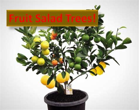 fruit salad tree fruit salad tree healthylife werindia