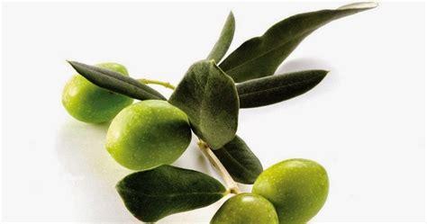 Minyak Zaitun Viva betapa istimewa buah zaitun obat sakit