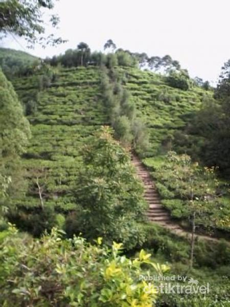 Teh Hijau Jamus ada bukit borobudur di perkebunan teh jamus ngawi 2