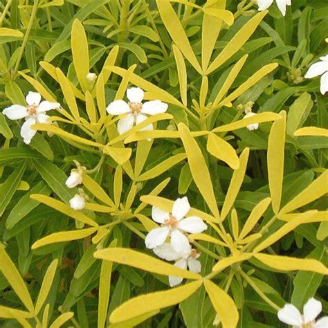 Oranger Du Mexique by Oranger Du Mexique Aztec Gold Plantes Et Jardins