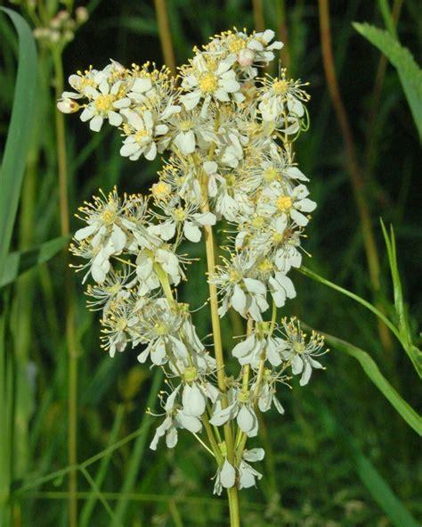 pianta dai fiori bianchi una pianta dai fiori bianchi filipendula sp forum