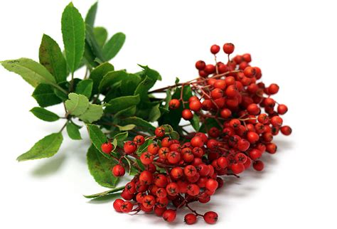 christmas berries information recipes and facts