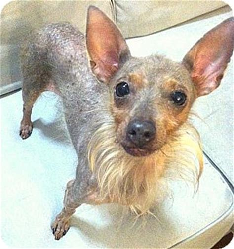 crested yorkie olive adopted encino ca crested yorkie terrier mix