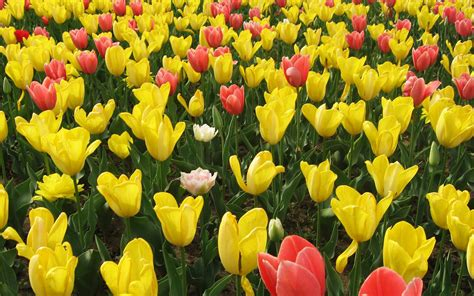 flowers blooming yellow and red tulip flowers 7321 1920 x 1200
