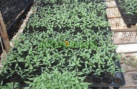 Bibit Tomat Green Emerald 1 10 tahap mudah cara menanam cabai hidroponik fertigasi