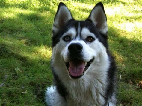 7 Facts On Huskies by Siberian Husky Facts