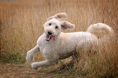 cross between golden retriever and poodle goldendoodle breed information and photos