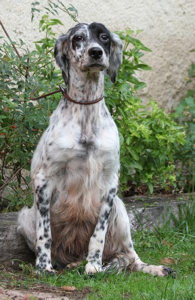 definition de setter estelle roc mignon 233 levage de chien de chasse setter