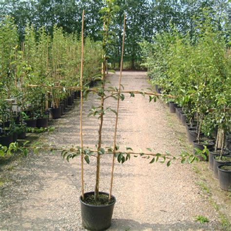pear espaliers fruit trees for sale