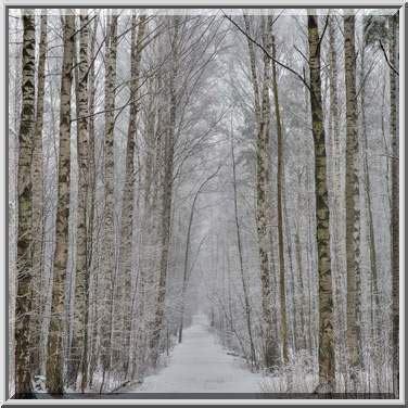 birch tree rubber st photo 2025 10 birch trees at snowfall in sosnovka park