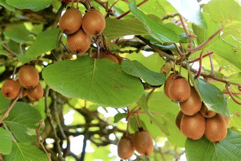 Jual Bibit Buah Kiwi free images branch sweet leaf flower ripe bush