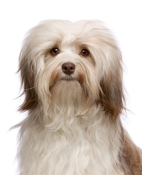 small breeds havanese havanese breed information noah s dogs