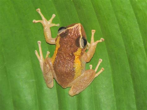 Wholesale Home Decor Stores celebrate frog jumping day with puerto rico s coqui