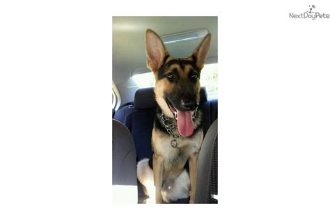 german shepherd puppies for sale in syracuse ny akc german breeds picture