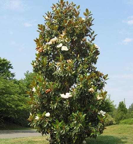 top 28 types of magnolia trees in florida crab apple trees are the only reason morris