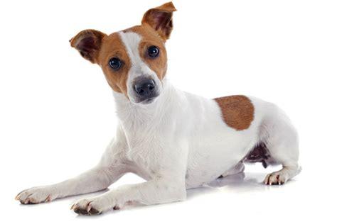 imagenes de perros jack rusell 10 formas que usa tu perro para comunicarse contigo 161 la 2