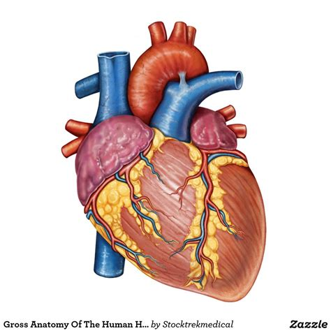 imagenes reales corazon humano im 225 genes informativas del coraz 243 n humano banco de