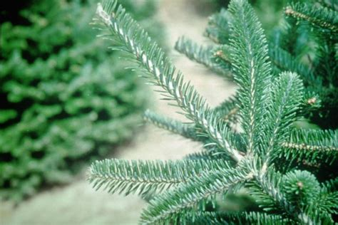 best christmas tree allergy smart plant and tree choices for an allergy friendly garden diy