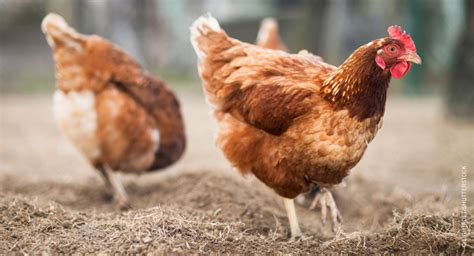 salmonella risk linked with backyard chickens food