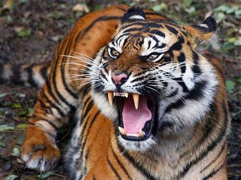 film ular makan harimau gambar harimau dunia binatang