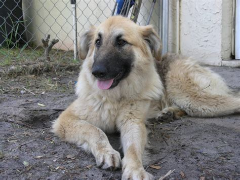 golden retriever german shepherd mix gracie the golden shepherd adopted the liberator