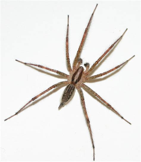 Garden Spider Folklore Spider Superstitions And Myths At Spiderzrule The Best