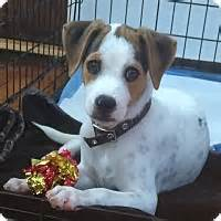 staten island puppy adoption staten island ny chihuahua mix meet a puppy for adoption
