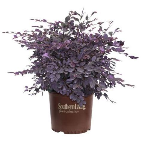 southern living collection southern living plant collection 2 gal purple diamond