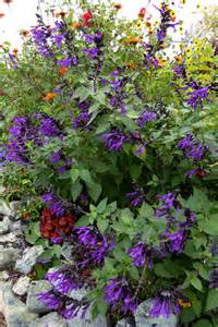 Wild Orange Flowers - salvia amistad buy online at annie s annuals