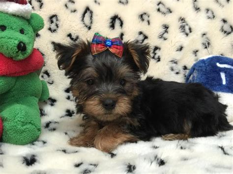 teacup yorkie ga 1000 images about tiny yorkie puppies for sale on yorkie puppies for